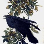 Audubon Raven