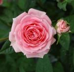 Pink rose Carla Nunziata